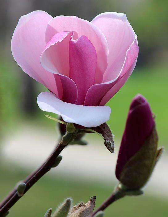 pink magnolia & bud