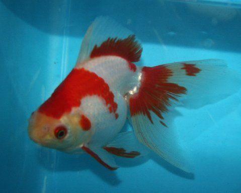 Ryukin Goldfish For Sale From Mona S Koi Goldfish For Sale Ryukin Goldfish Goldfish