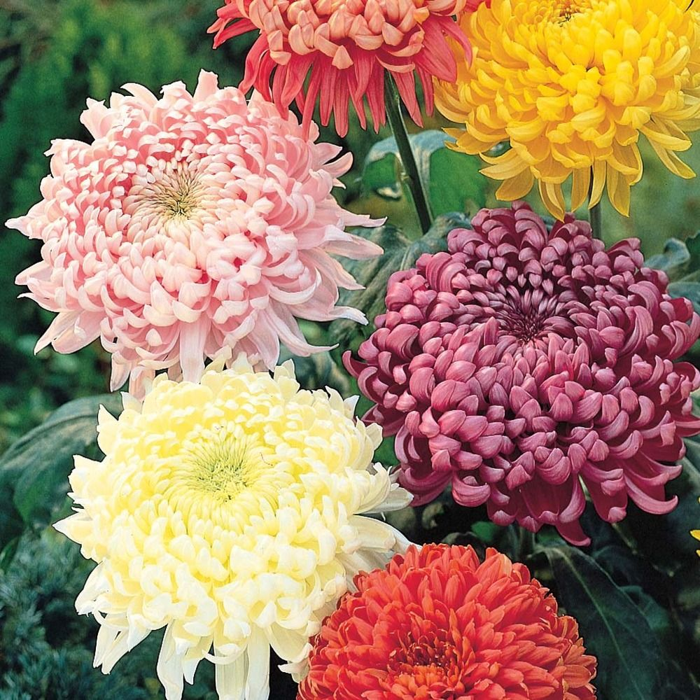 Chrysanthemums are the official flowers for november birthdays chrysanthemums are the official flowers for november birthdays izmirmasajfo