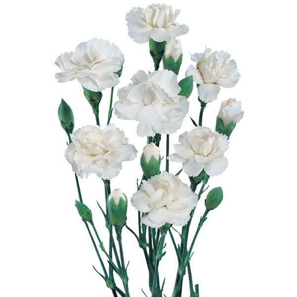 Spray Carnations Hilverdakooij Plant Technology Mini Carnations Carnation Plants Carnations