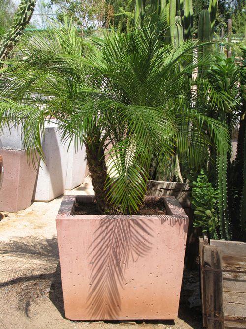 Phoenix Desert Nursery Plants Trees Flowers Potore The Green Dess