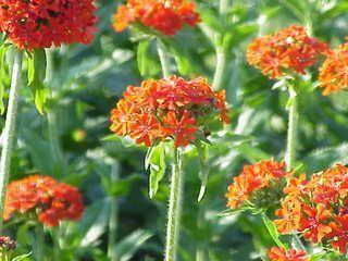 Bibitbunga Com Bunga Benih