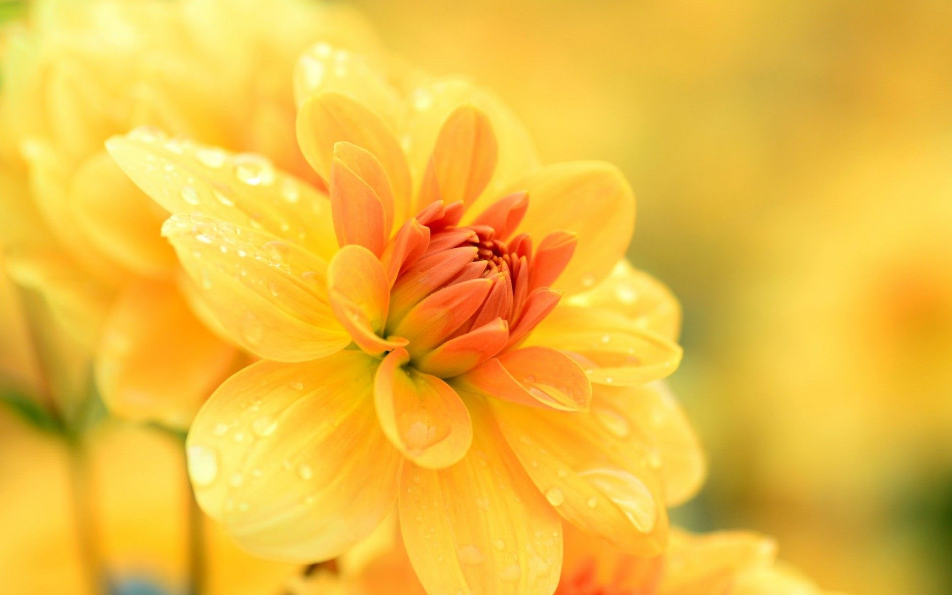 Yellow Flower Photography Wallpaper For Desktop In High Resolution Free Download We Have Best Collection Of Beautiful Flowers Background
