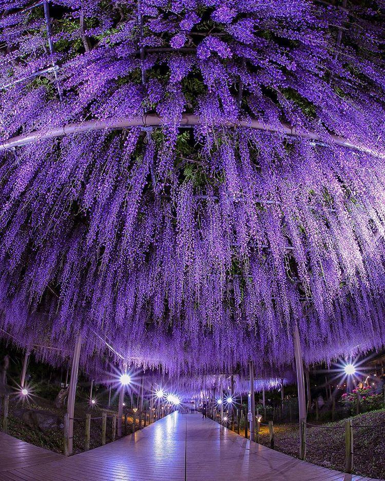 Mandaraji Park Aichi Konan Wisteria Flower Spring 曼荼羅寺公園 藤 江南 愛知 Spring Scenery Beautiful Landscapes Wisteria Tree