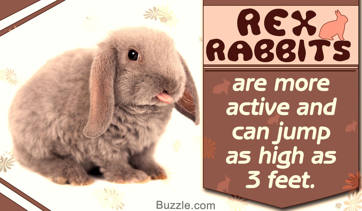 Curiously cute facts about the rex rabbit breed rabbit