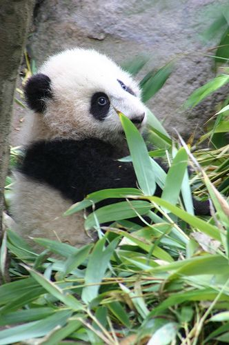 A panda's early attempts at bamboo.