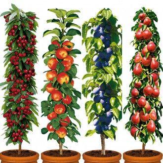 4 Saulenobstbaume Im Set Apfel Birne Zwetsche Und Kirsche Zwergobstbaume Obst Obstgeholze