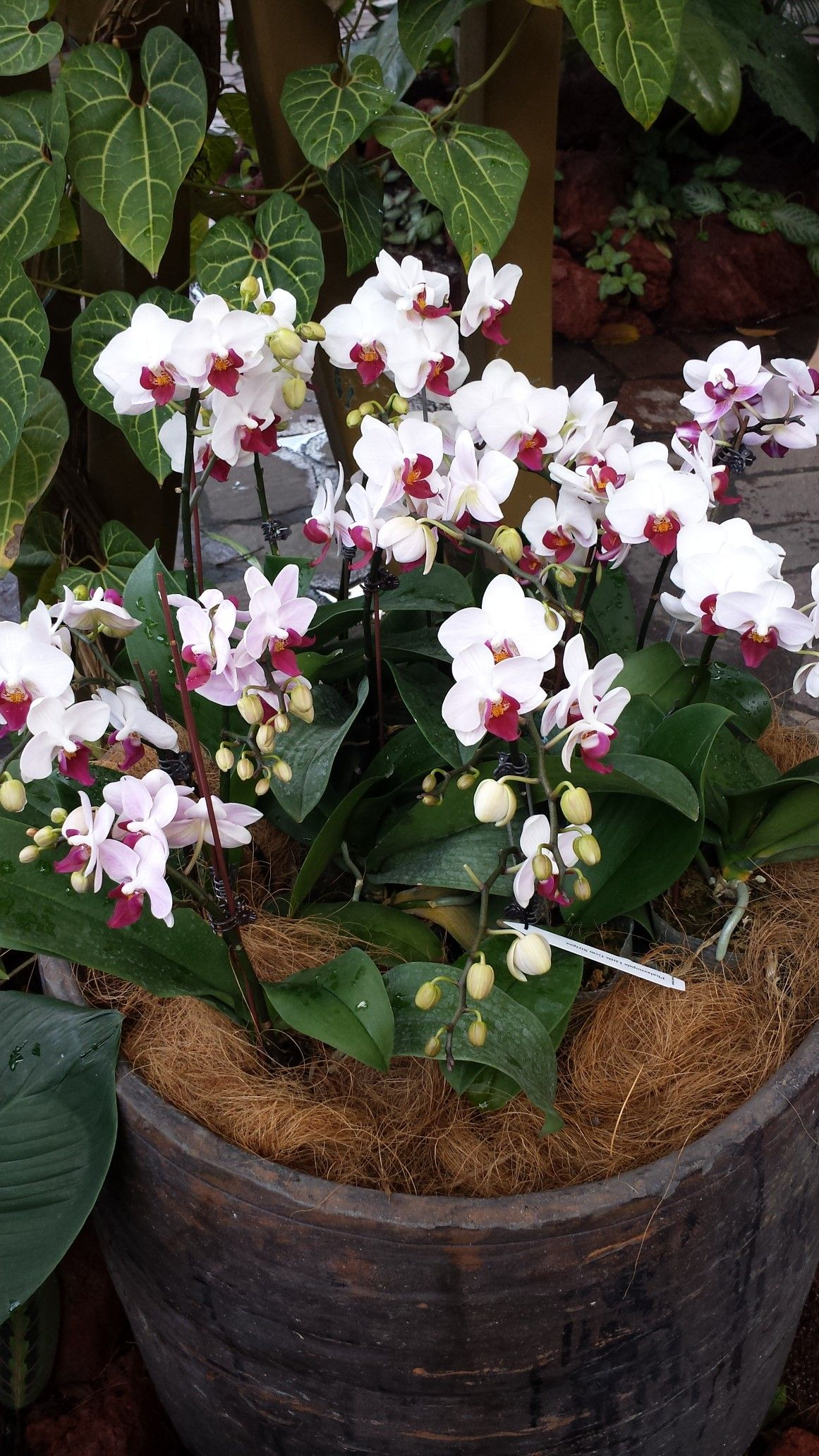 Pin by flowers in heart on phalaenopsis orchids pinterest