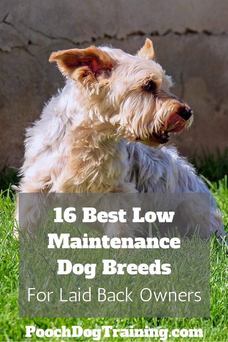 16 Best Low Maintenance Dog Breeds For Laid Back Owners Low Maintenance Dog Breeds Dog Breeds Man And Dog