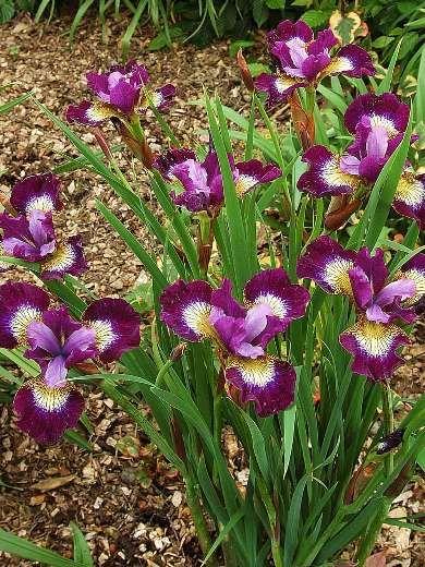 Iris Sibirica Contrast In Styles Amazing Flowers Beautiful Flowers Beautiful Blooms