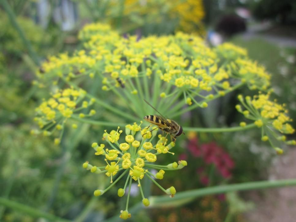 Syrphid Fly On Dill Dill Is A Helpful Plant In The 640 x 480