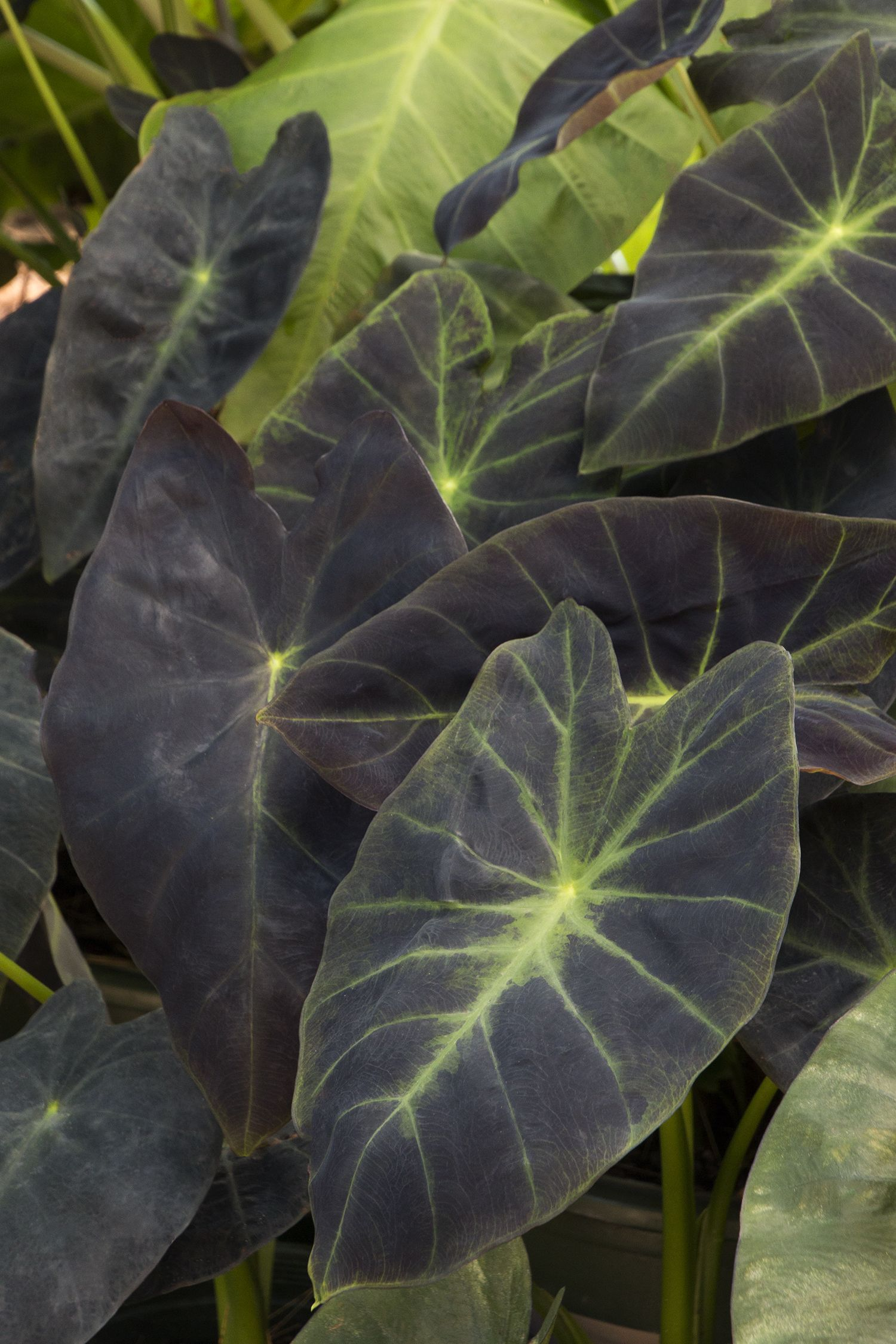Monrovia S Imperial Taro Details And Information Learn More About Plants Best Practices For Possible Plant Performance