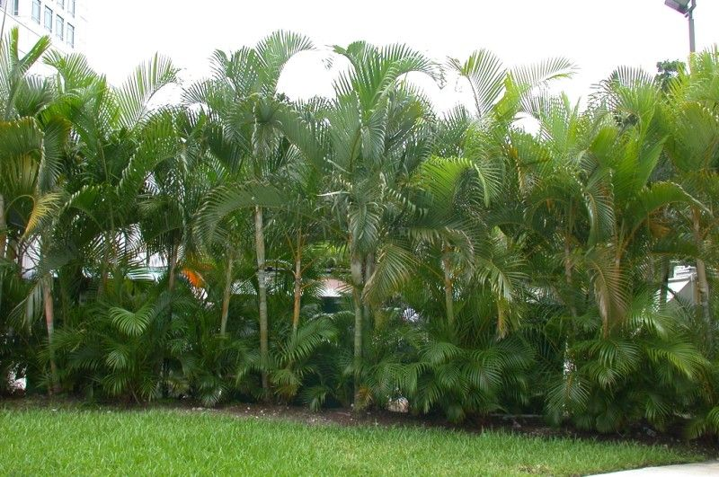 areca palm gardening pinterest garden landscaping plants and