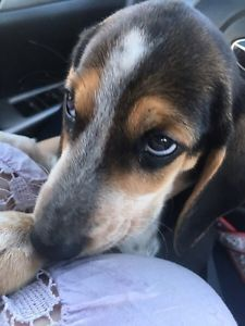 9 Week Old Beagle Puppy 500 Dogs Puppies For Rehoming City
