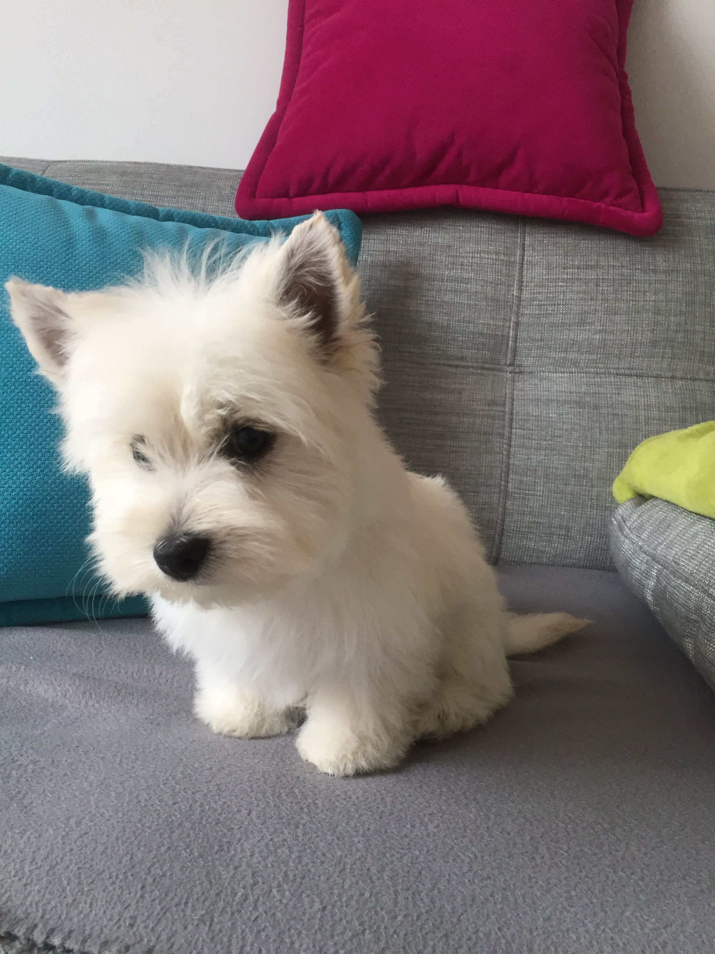 Westies For Sale West Highland White Terriers For Sale Westie Breeders Westies Breeders In Louisiana Westies Puppi Westie Puppies Westie Dogs White Terrier