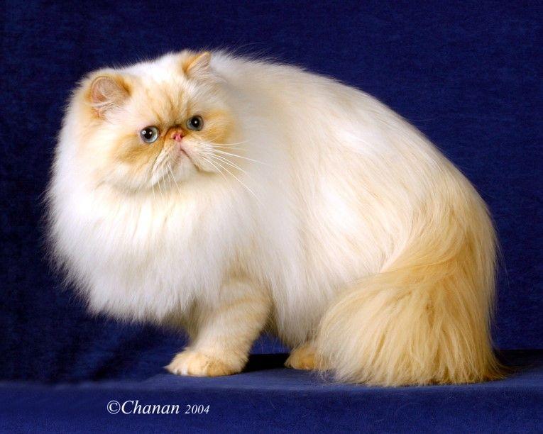Prancenpaws Titles And Awards 2000 2005 Persian Cat Beautiful Cats Teacup Persian Cats