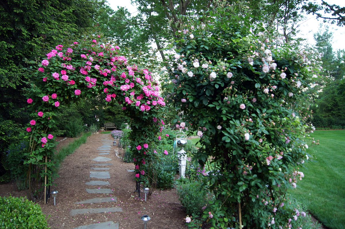 Zephirine Drouhin Climbing Rose the pink roses on the rose arbor are 'zephirine drouhin' the