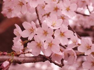 Gambar Bunga Sakura Cherry Blossom