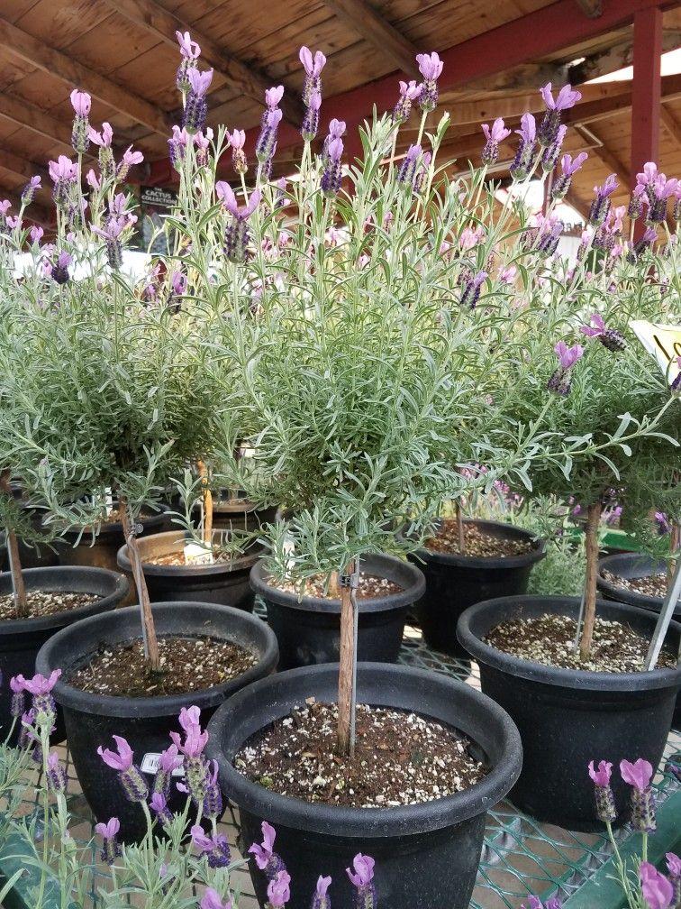 Potted Lavender Tree Eastside Nursery