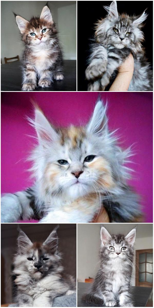 Maine Coon Kittens Florida Adoption