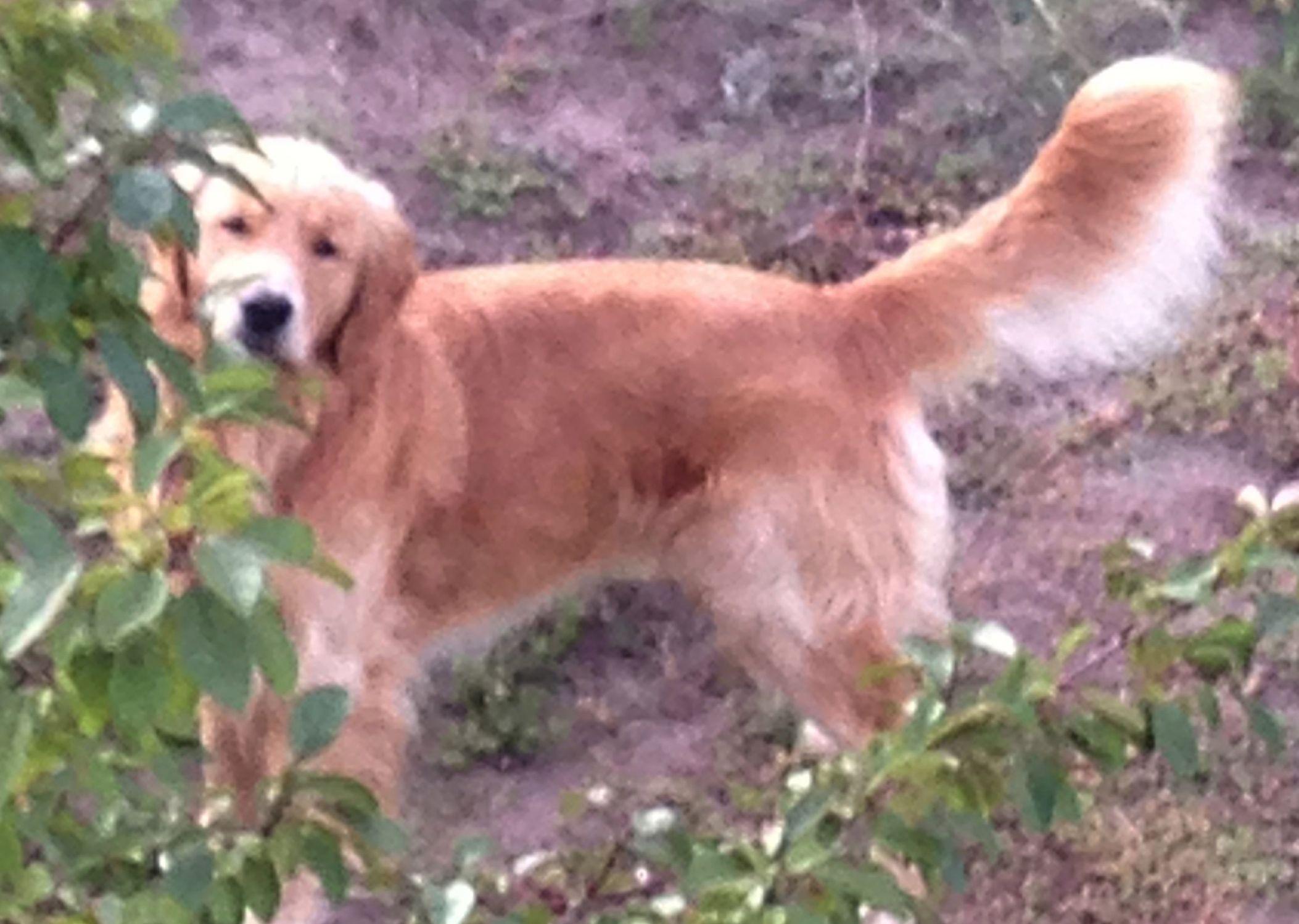 Stolen Dog Golden Retriever Colorado Springs Co United