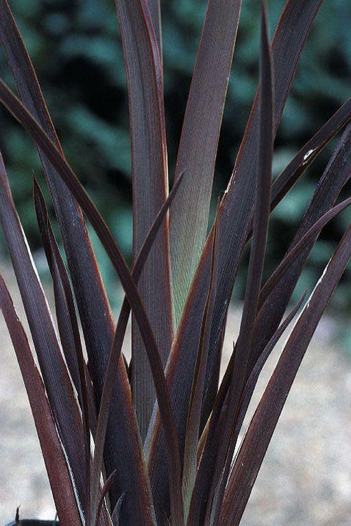 phormium bronze