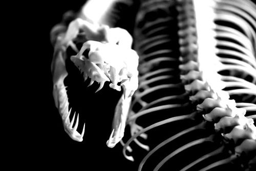 medusahorror:  snake skeleton. my edit | source.