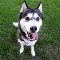 Keeva is an adoptable Siberian Husky Dog in Janesville, WI. Keeva is an absolutely stunning Siberian Husky looking for her forever home! We believe Keeva is about two years old but since she came to u...