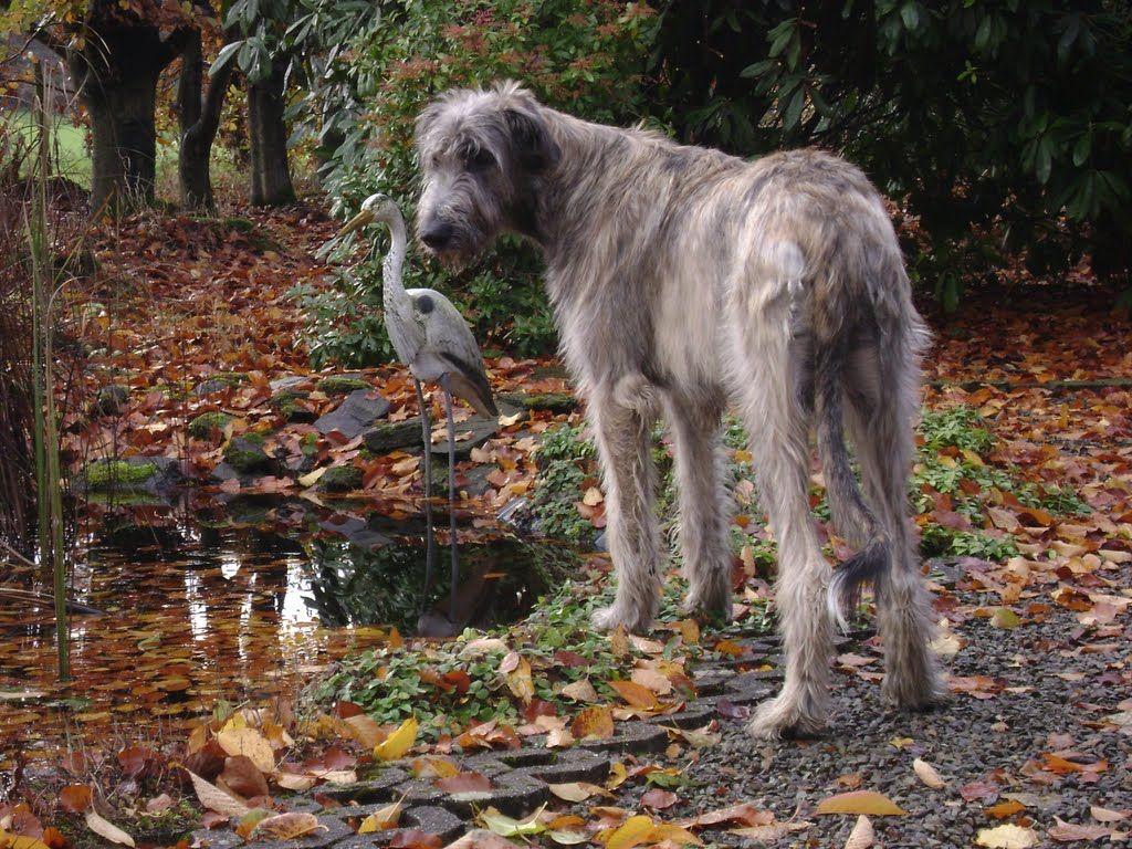 Irish Wolfhound photo ...