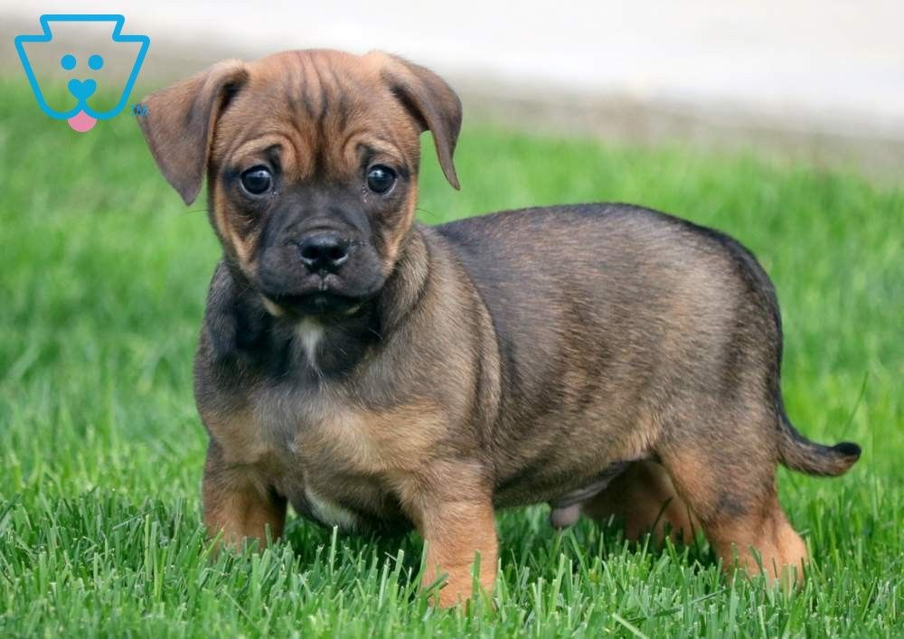 Paws Jug Puppies For Sale Puppies For Sale Puppy Quotes