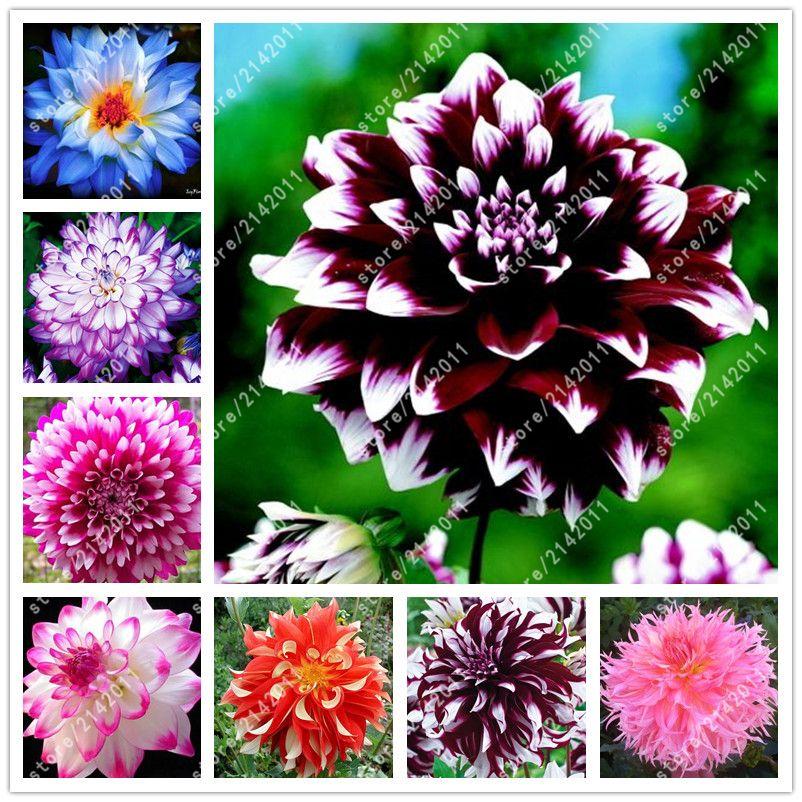 Bonsai 20pcs Bag Dahlia Flower Dahlia Seeds Not Dahlia Bulbs Bonsai Flower Seeds Gorgeous Flower Balcony Potted Plan Flower Seeds Bonsai Flower Dahlia Flower