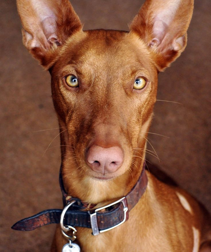 The Pharaoh Hound Is Traditionally Used For Hunting Rabbit In The