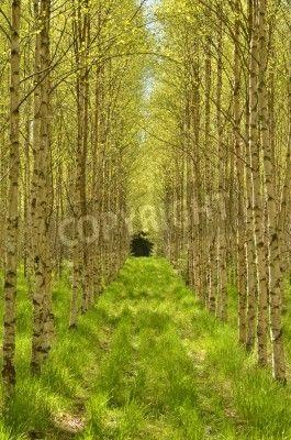 Birch tree with fresh green  via MuralsYourWay.com