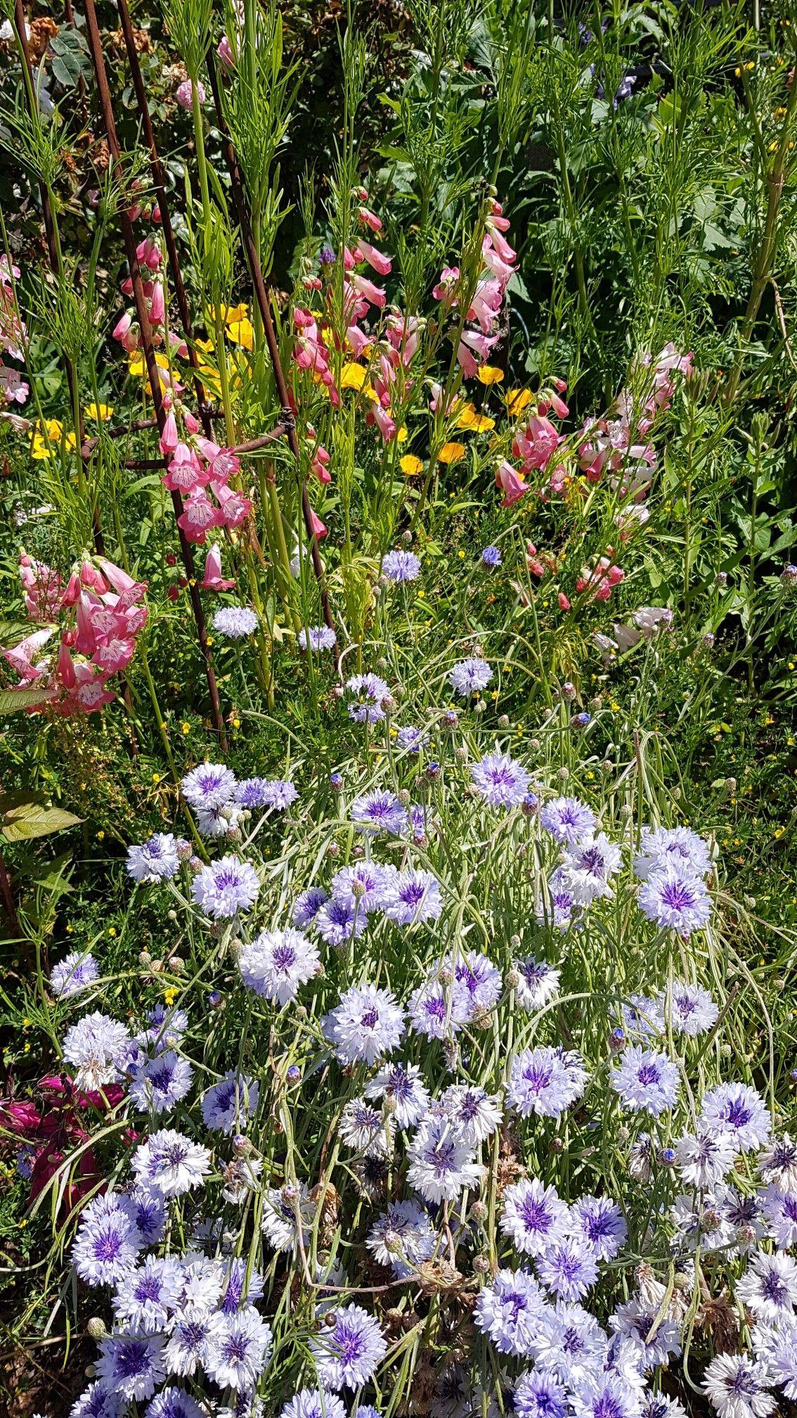 Penstemons Et Bleuets Jardins Jardinage Fleurs