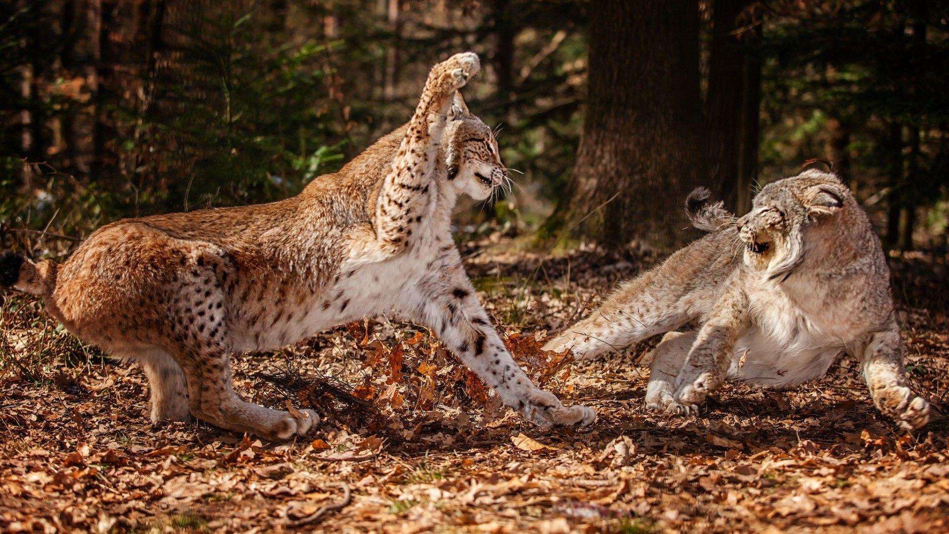 animals fight lynx wild cat wallpaper (#2795987) / wallbase.cc