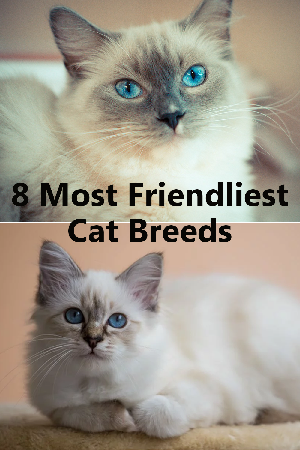 8 Most Affectionate Cat Breeds In The World Cat breeds
