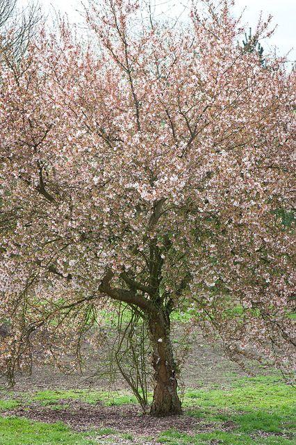 Prunus Pandora Ornamental Cherry Prunus Tree