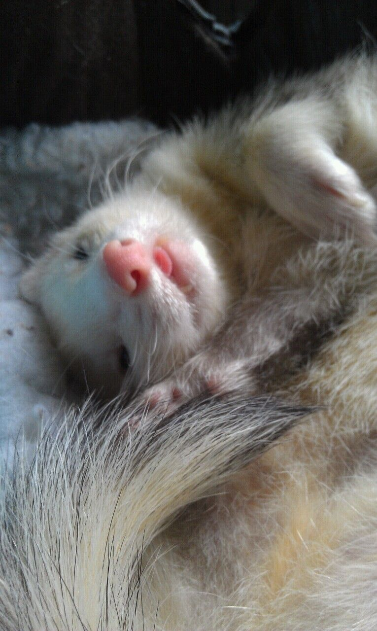 Just 22 Cute Animals To Make You Start The Day With A Big Aww In 2020 Ferret Cute Animals Pet Ferret