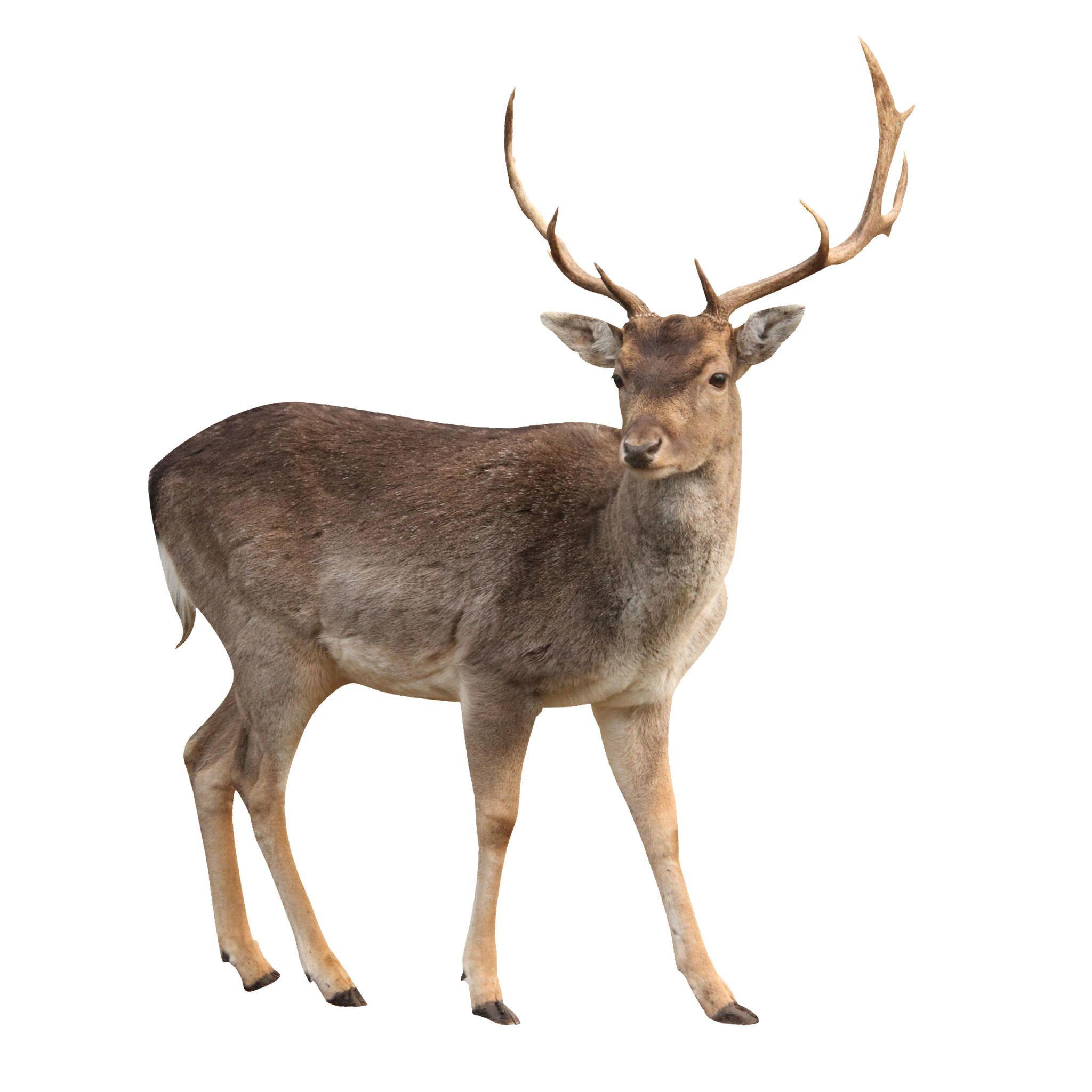 Buck Deer Isolated With Clipping Path Animals Wild Deer Buck Deer