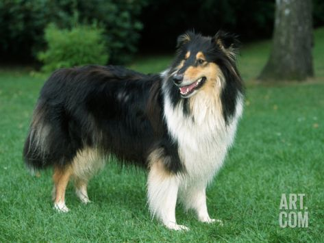 Outdoor Portrait Of Collie Dogby Petra Wegner Adorable Puppies