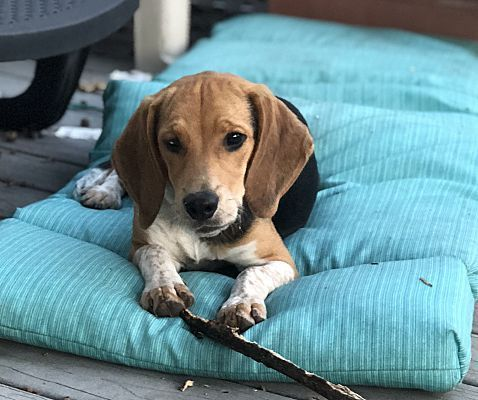 Staten Island Ny Beagle Meet Lotus A Pet For Adoption