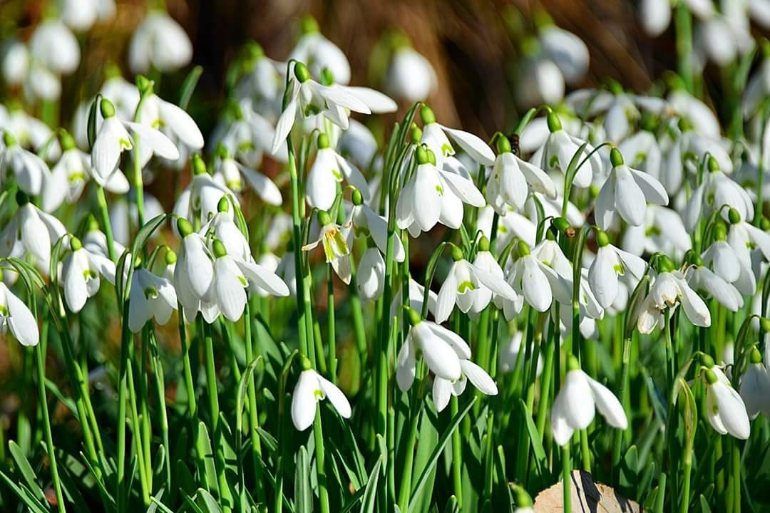 Snowdrops In Hole Park Kent Snowdrop Snowdrops Flower Flowers Kent Galanthus Flower Aesthetic Flowers Plant Nursery
