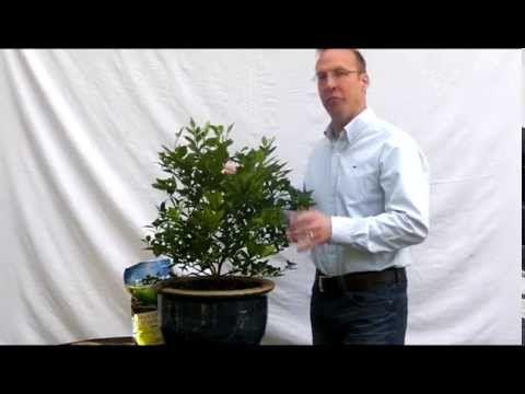 The Best Fertilizer For Lemon Trees My Top Choices Gotogardenista Lemon Tree Citrus Trees Indoor Lemon Tree