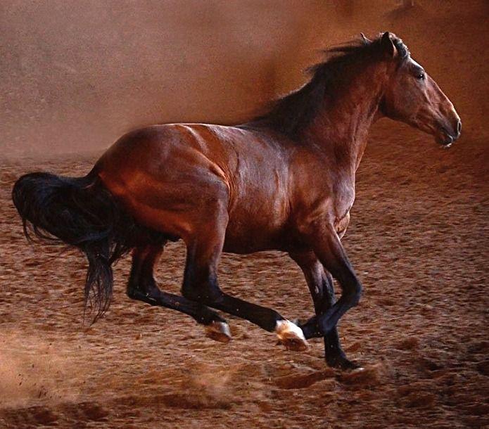 Lusitano stallion. photo: Tony Stromberg.