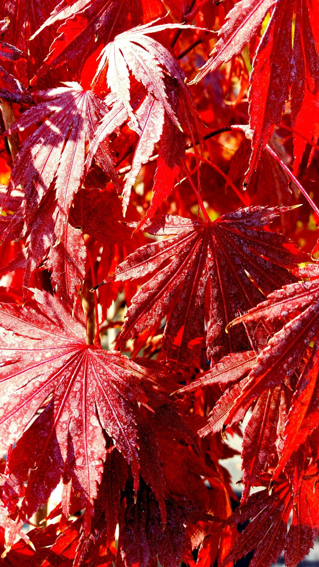Acero Blu Giapponese acero ad ombrello foglia rossa - acer dissectum garnet
