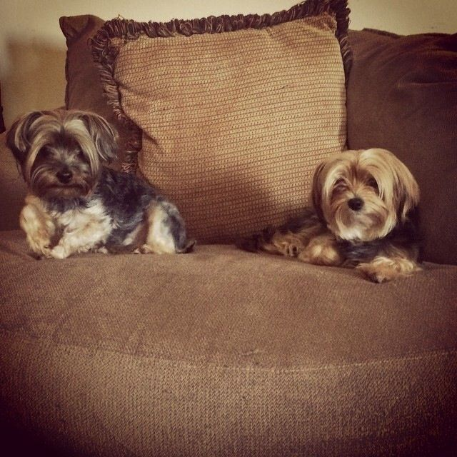 Lost Dog - Yorkshire Terrier Yorkie - Franklin, WI, United States 53132