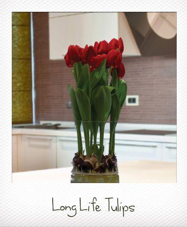 Bloomaker Long Life Tulips Care Instructions Gardening Pinterest