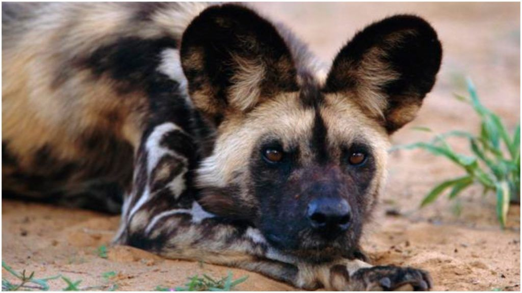 Meet The Oldest Canine On Earth The African Painted Dog Wild