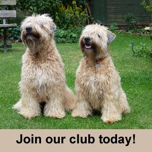 Welcome To The Soft Coated Wheaten Terrier Club Of Gb Wheaten Terrier Soft Coated Wheaten Terrier Terrier