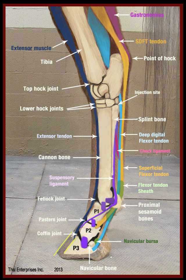 The Equine Hock What Horse Owners Should Know Thal Equine Llc